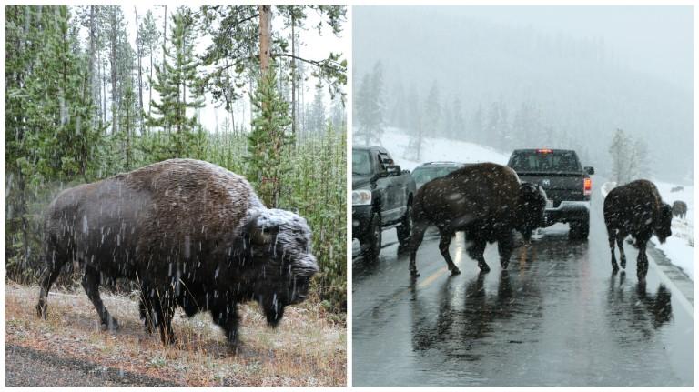 buffalo-snowy