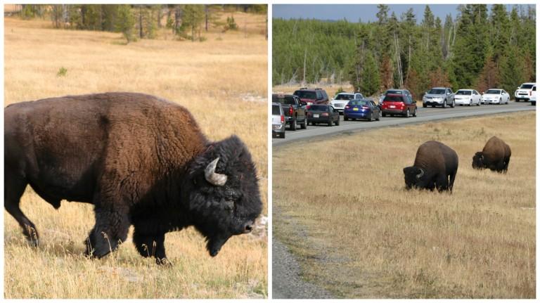 buffalo-sunny
